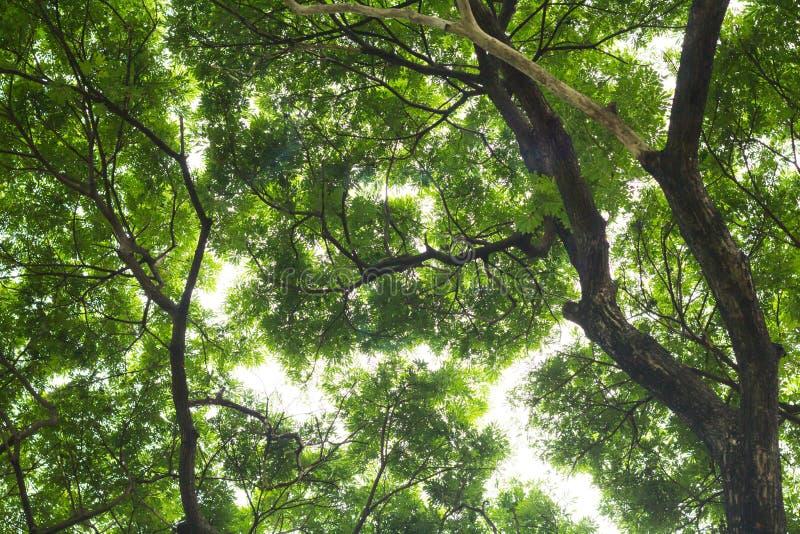 Onder mening van grote boom toon detail groene bladeren voor backgroun royalty-vrije stock foto