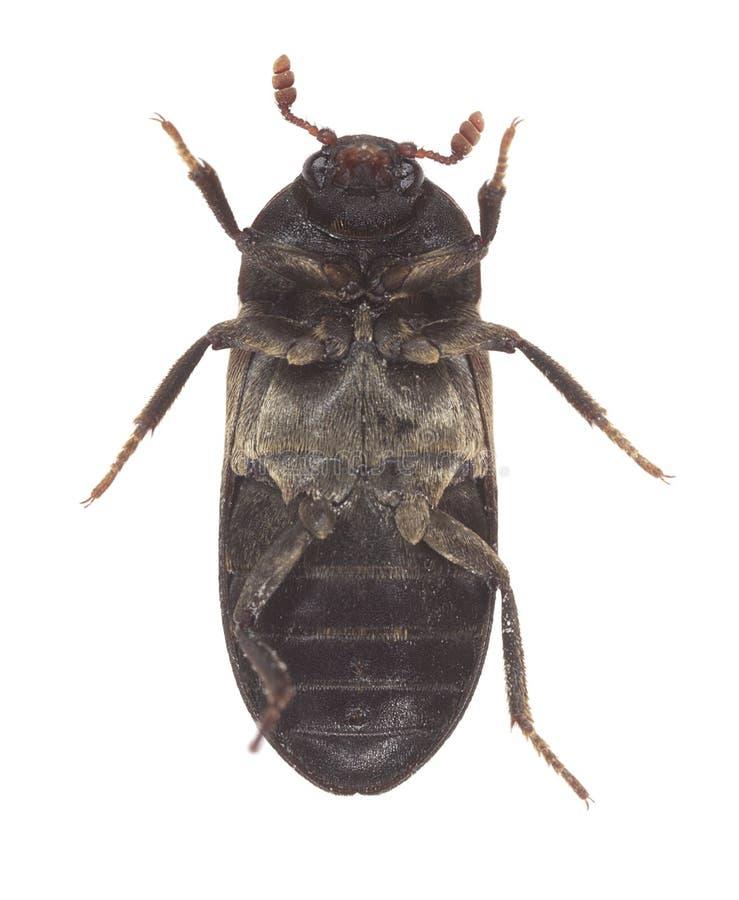 Onderkant van een provisiekamerkever, Dermestes-lardarius op witte achtergrond wordt geïsoleerd die stock fotografie