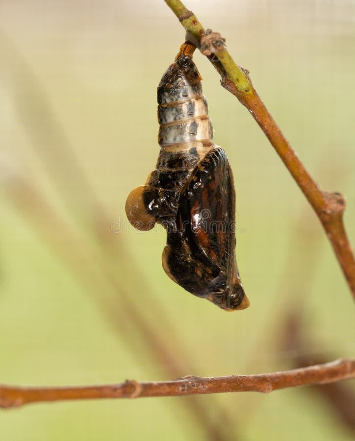 Onderkoningvlinder in zijn popogenblikken vóór eclosion stock afbeelding