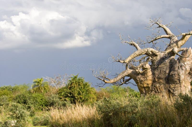 Ondersteboven of de boom van de Baobab royalty-vrije stock afbeelding