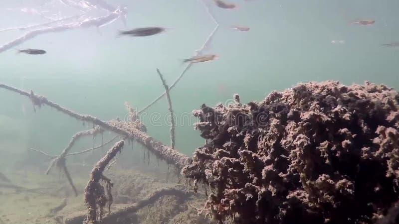 Onderwater levend met ondiepten van vissen stock footage