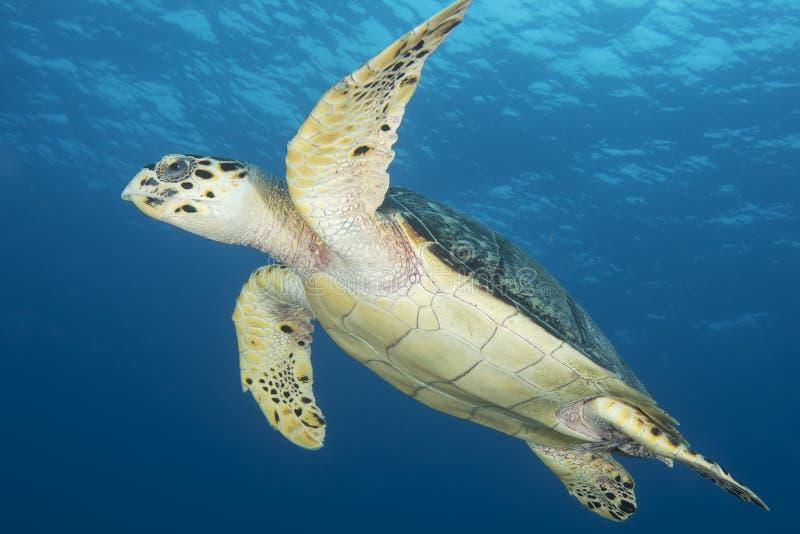 Onderwaterbeeld van groene zeeschildpad stock afbeelding