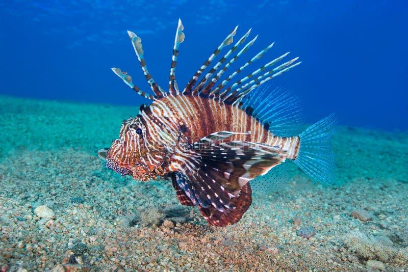 Onderwaterfoto de gemeenschappelijke van Lionfish (Pterois volitans) stock foto