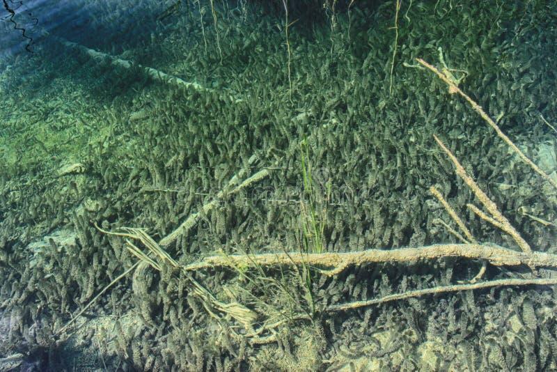 Onderwaterfoto van Duidelijk water in Plitvice-meren Er zijn bomen en gras stock foto