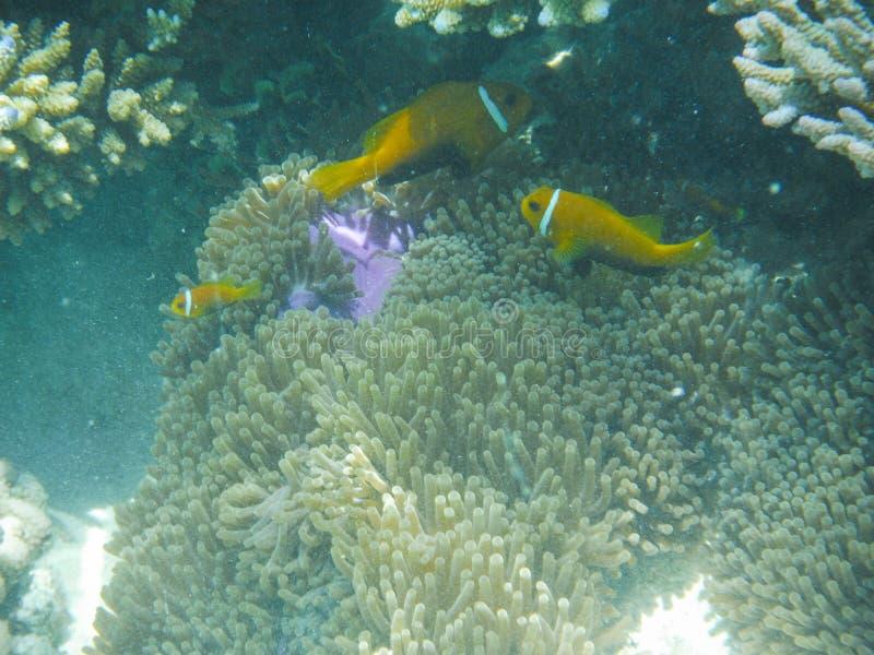 Onderwatermening met prachtige en mooie koralen en tropische vissen in de Maldiven royalty-vrije stock afbeeldingen