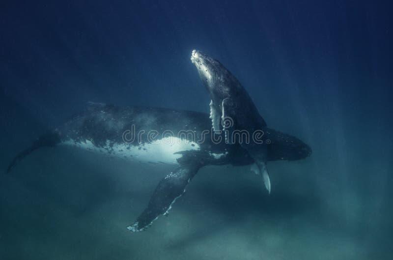 Onderwatermening van een een moeder en kalf van de gebocheldewalvis royalty-vrije stock foto's
