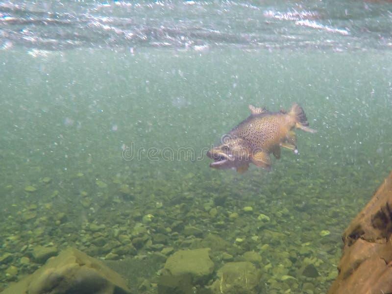 Onderwatermening van een vastgehaakte bruine forel in een duidelijke rivier van Nieuw Zeeland stock foto