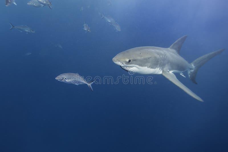 Onderwatermening van groot wit de Eilanden van Zuid- haaineptunus Australië royalty-vrije stock foto's
