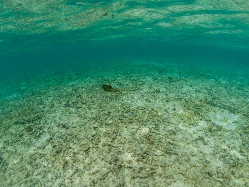 Onderwaterweergave van gebleekt wit dood koraal in de Malediven, terwijl een tropische vis door stock afbeelding