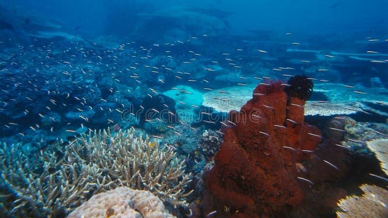 Onderzeese boehlkeiblackline van Thayeria van de pinguïn tetrazwerm penguinfish stock fotografie