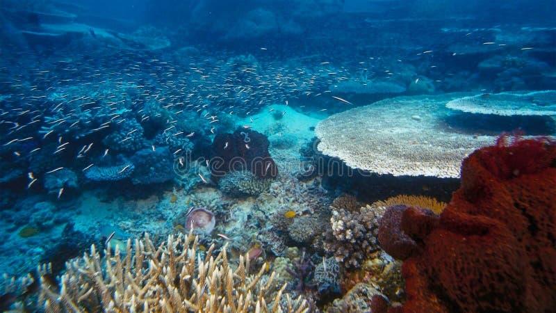 Onderzeese boehlkeiblackline van Thayeria van de pinguïn tetrazwerm penguinfish stock foto's