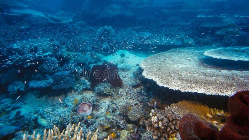 Onderzeese boehlkeiblackline van Thayeria van de pinguïn tetrazwerm penguinfish royalty-vrije stock fotografie