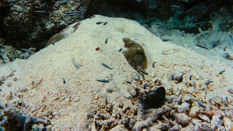 Onderzeese boehlkeiblackline van Thayeria van de pinguïn tetrazwerm penguinfish royalty-vrije stock afbeelding