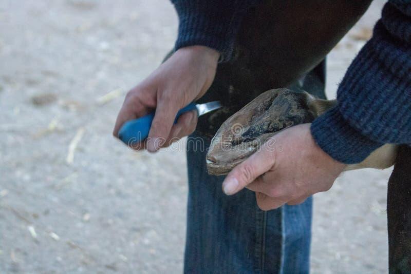 Onderzoek ziek paard door te bekijken en de hoeven te behandelen stock foto