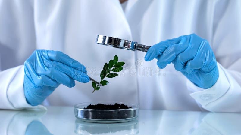 Onderzoeker die groene installatie door vergrootglas, agrochemicalsanalyse kijken stock foto