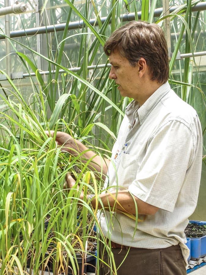 Onderzoeker in percelen met suikerriet stock foto's