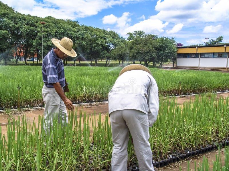 Onderzoeker in percelen met suikerriet stock afbeeldingen