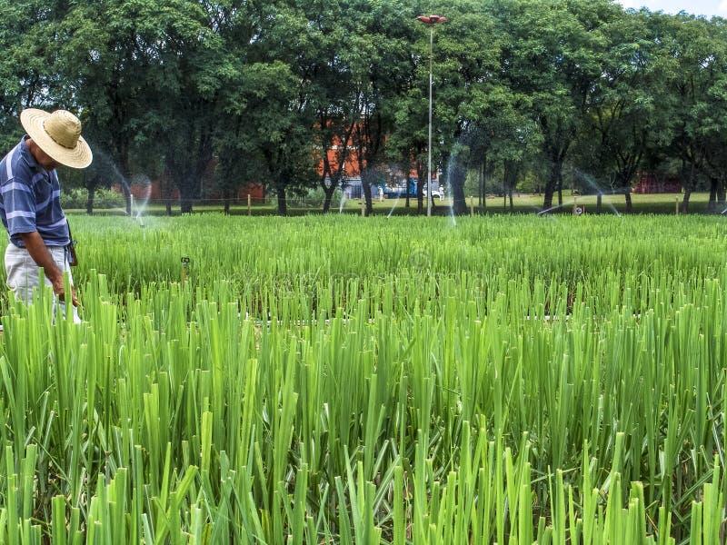 Onderzoeker in percelen met suikerriet royalty-vrije stock foto