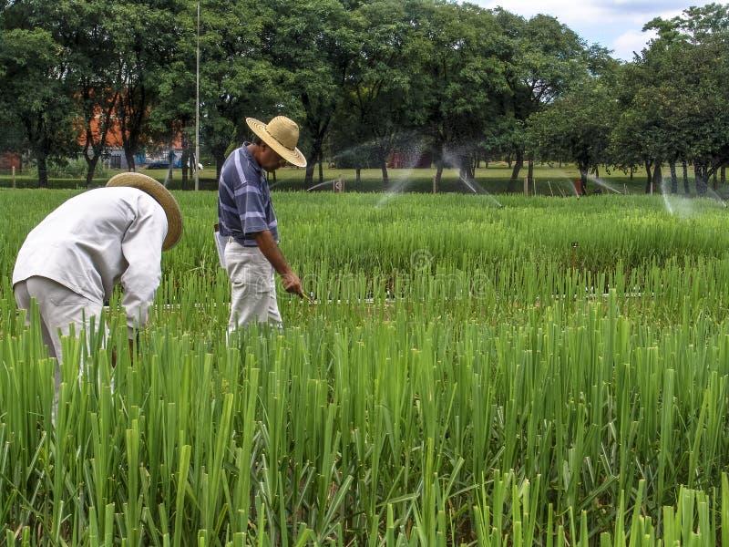 Onderzoeker in percelen met suikerriet royalty-vrije stock afbeelding