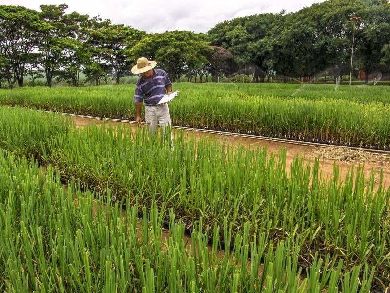 Onderzoeker in percelen met suikerriet royalty-vrije stock foto's