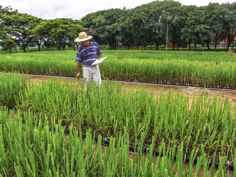 Onderzoeker in percelen met suikerriet royalty-vrije stock fotografie