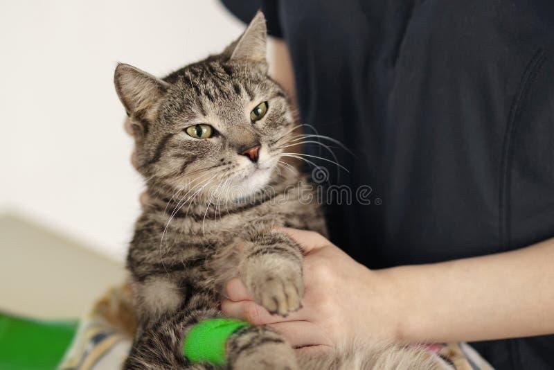 Onderzoekt de katten veterinaire kliniek de ziekte een dierenarts is een kat bij het dierlijke ziekenhuis stock afbeeldingen