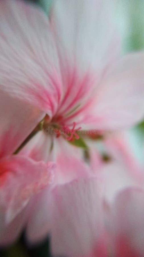 Ondiepe diepte van gebied Roze Bloem Knop Macro Groene knop Bloem It& x27; s de lente Roze Tederheid royalty-vrije stock fotografie