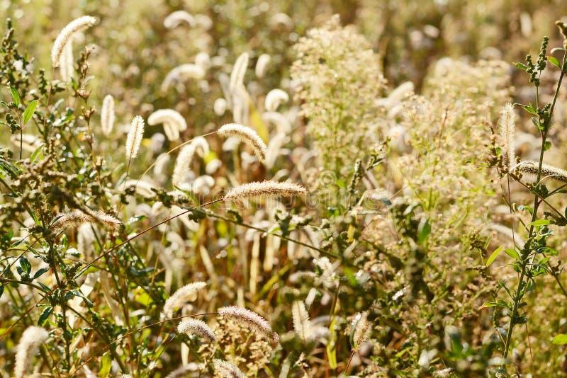 Ondiepe Diepte van Gebied Vage de herfstachtergrond De herfstinstallaties Fluweelseizoen Wild gebied van gras op zonsondergang, z royalty-vrije stock foto's
