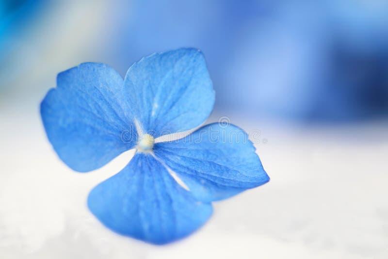 Ondiepe nadruk van de enige bloesem van de hydrangea hortensiabloem stock foto's