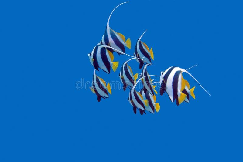 Download Ondiepte Van Bannerfishes In Tropische Overzees, Onderwater Stock Afbeelding - Afbeelding bestaande uit scuba, geïsoleerd: 54078189