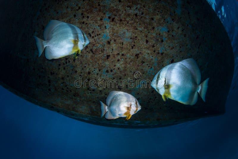 Ondiepte van batfish onder een duikvluchtboot stock afbeelding