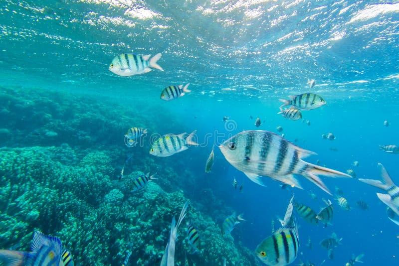 Ondiepte van vissen in Rode overzees, Egypte stock afbeeldingen