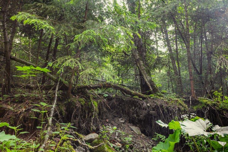 Ondoordringbaar struikgewas in oud bos royalty-vrije stock afbeelding