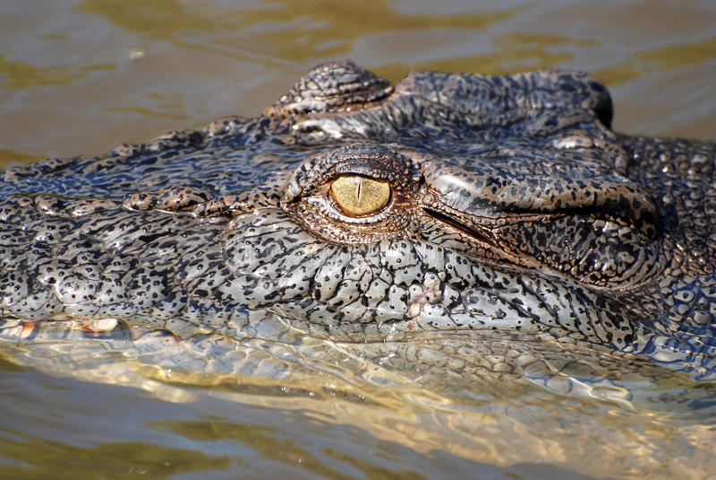 Ondskefull australisk krokodil som lurar i vattnet fotografering för bildbyråer