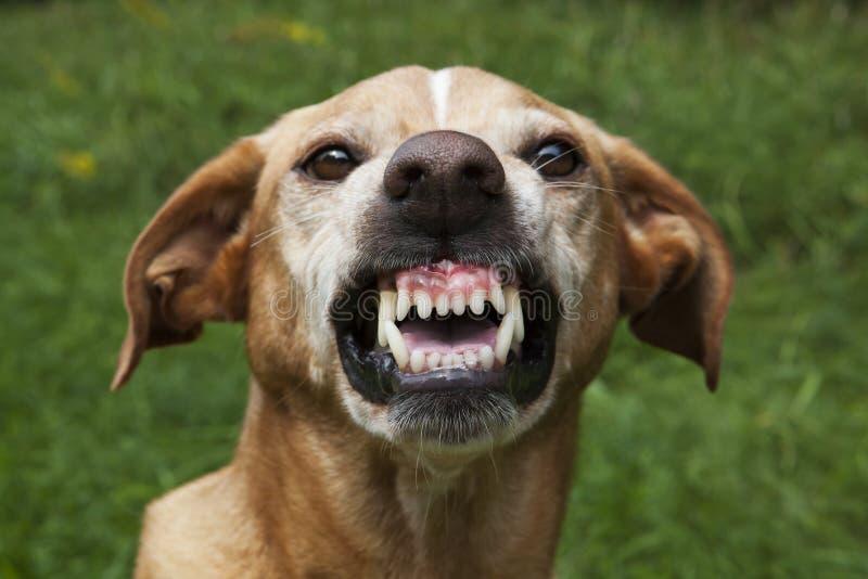 Ondskefull brun hund arkivfoto