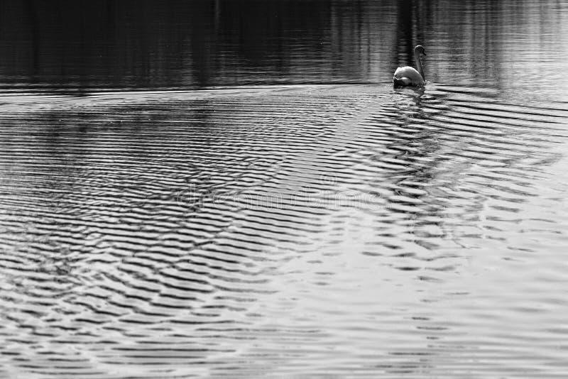 Ondulations dans l'eau derrière une natation sauvage de cygne photos stock