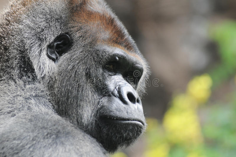 One Adult Black Gorilla royalty free stock photography