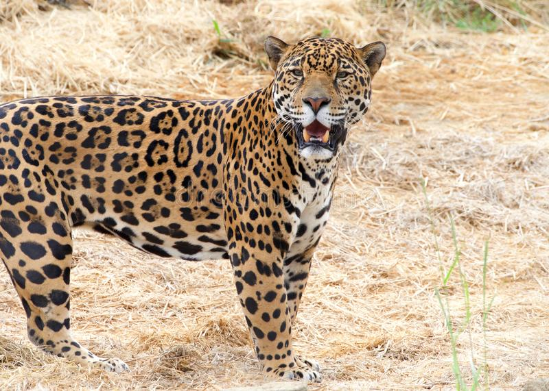 Close up on One adult male leopard standing royalty free stock photos
