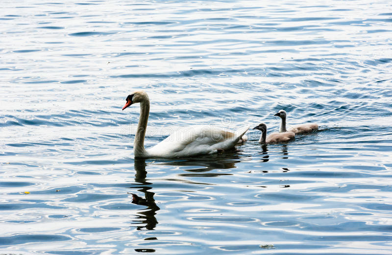One adult mute swan with two young cygnets. Family of mute swans on wavy water, with one adult leading two young cygnets royalty free stock photography
