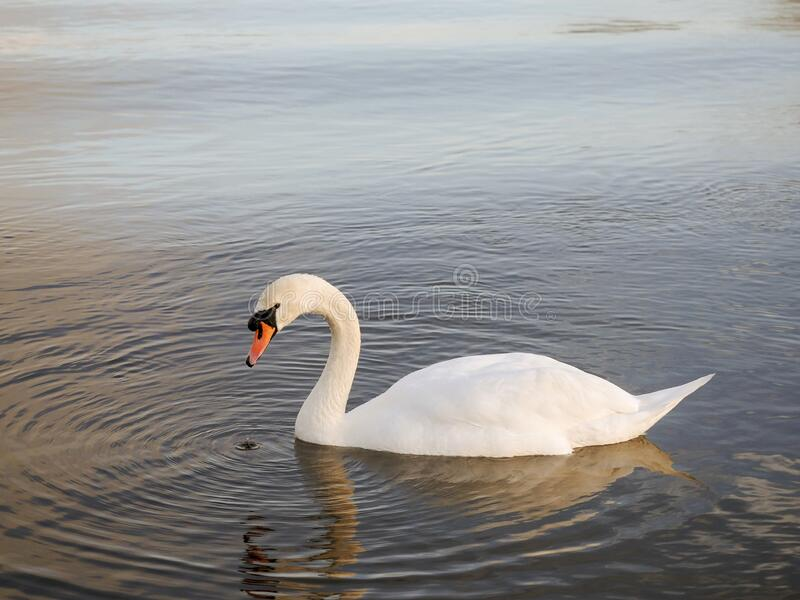 One adult white beautiful swan in a calm river water.  stock photo
