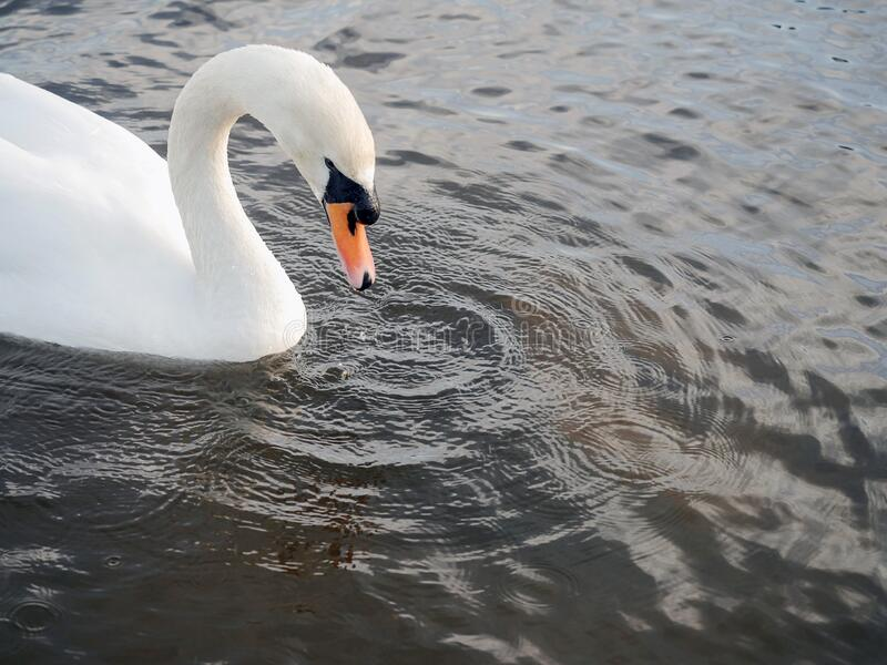 One adult white beautiful swan in a calm river water. Water dripping from its beak leaving ripples on water surface.  stock photography
