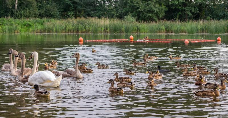 One adult white swan and four young gray swans swim on the lake with ducks royalty free stock photo