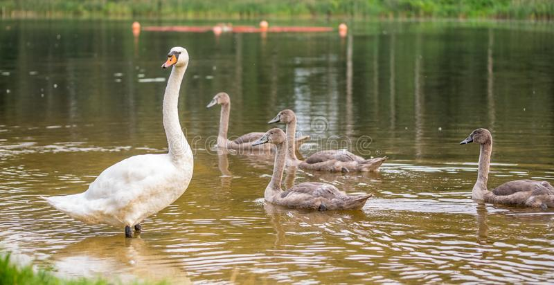 One adult white swan is watching its grown up gray chicks stock photography