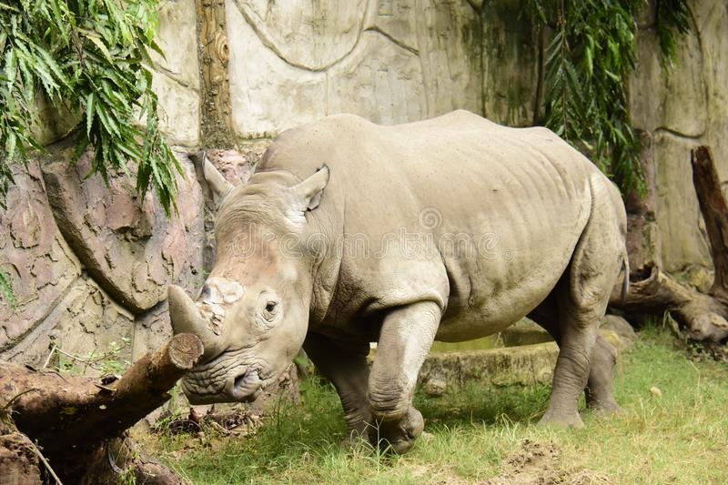 Rhino, White Ceratotherium simum. One of Africa's most endangered animals being poached for its horn, found in sub-Saharan Africa stock images