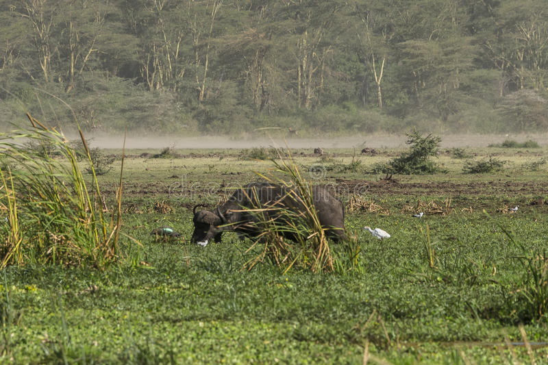 One African Buffalo on swamp stock image