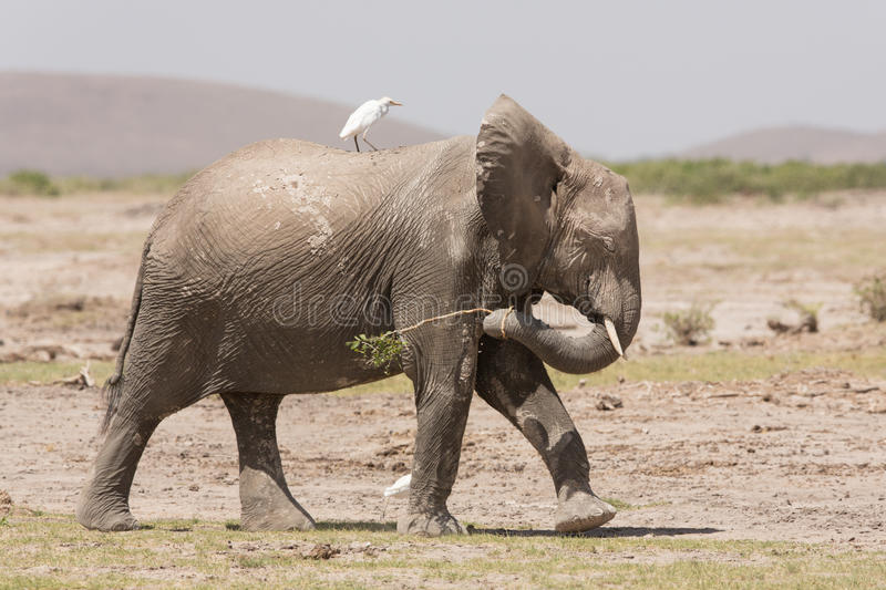 One African Elephant walking with a Cattle Egret on its back, Amboseli, Kenya. One African Elephant walking with a Cattle Egret on its back, Amboseli National stock photo