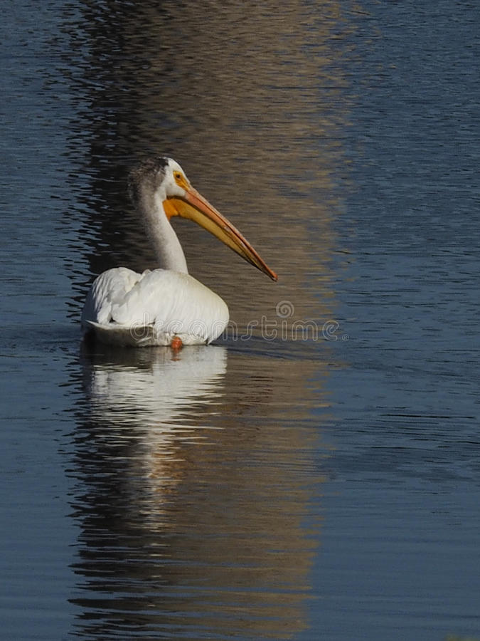 One American white pelican swimming at Hauser Lake Montana stock images