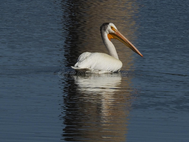 One American white pelican swimming in water wth reflection. royalty free stock image