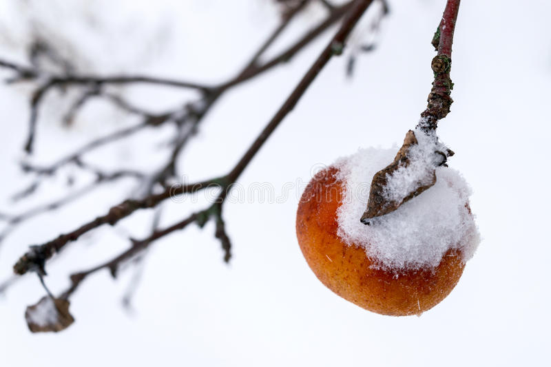 One apple on the branch of a tree covered with snow. stock images