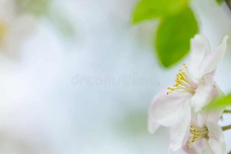 One apple tree blossom flower on branch at spring. Beautiful blooming flower isolated with blurred background stock photography